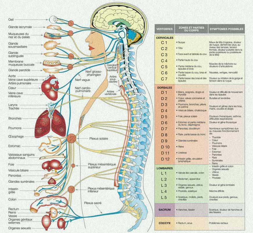 chiropractie colonne vertébrale