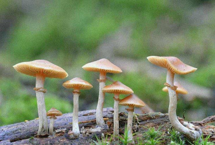 psilocybine champignons