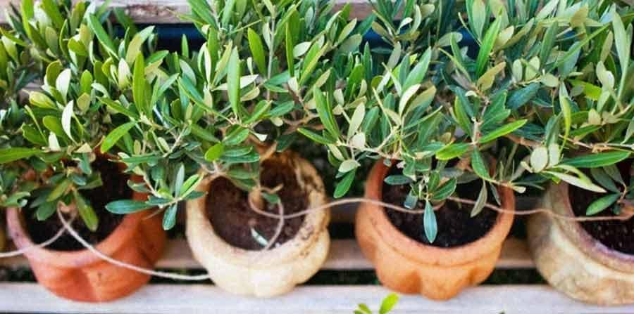 Arbustes d'olivier en pots